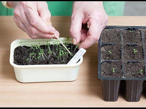 Как вырастить рассаду петунии в домашних условиях из семян - способы 2
