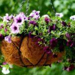 Как вырастить рассаду петунии в домашних условиях из семян - способы 3