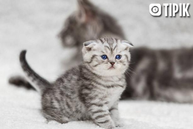 Шотландская вислоухая кошка - описание породы, уход, характер 1