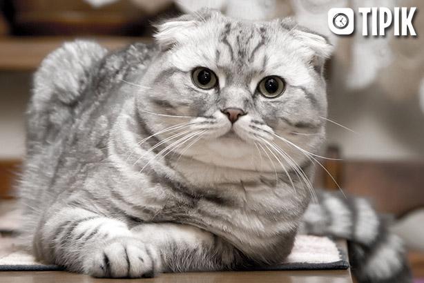 Шотландская вислоухая кошка - описание породы, уход, характер 2
