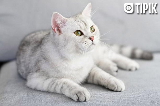 Шотландская вислоухая кошка - описание породы, уход, характер 3