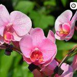 Орхидея - основные ошибки по уходу за растением, рекомендации 3