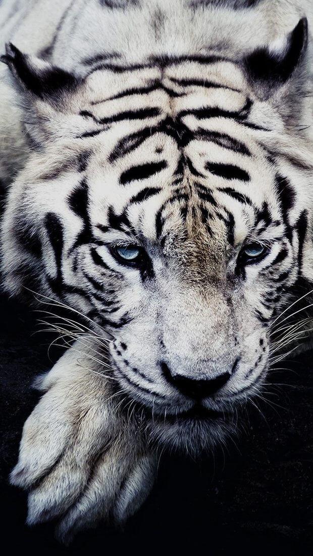 Красивые и крутые картинки тигра на заставку телефона - подборка 6
