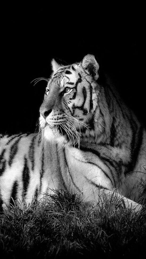 Красивые и крутые картинки тигра на заставку телефона - подборка 7