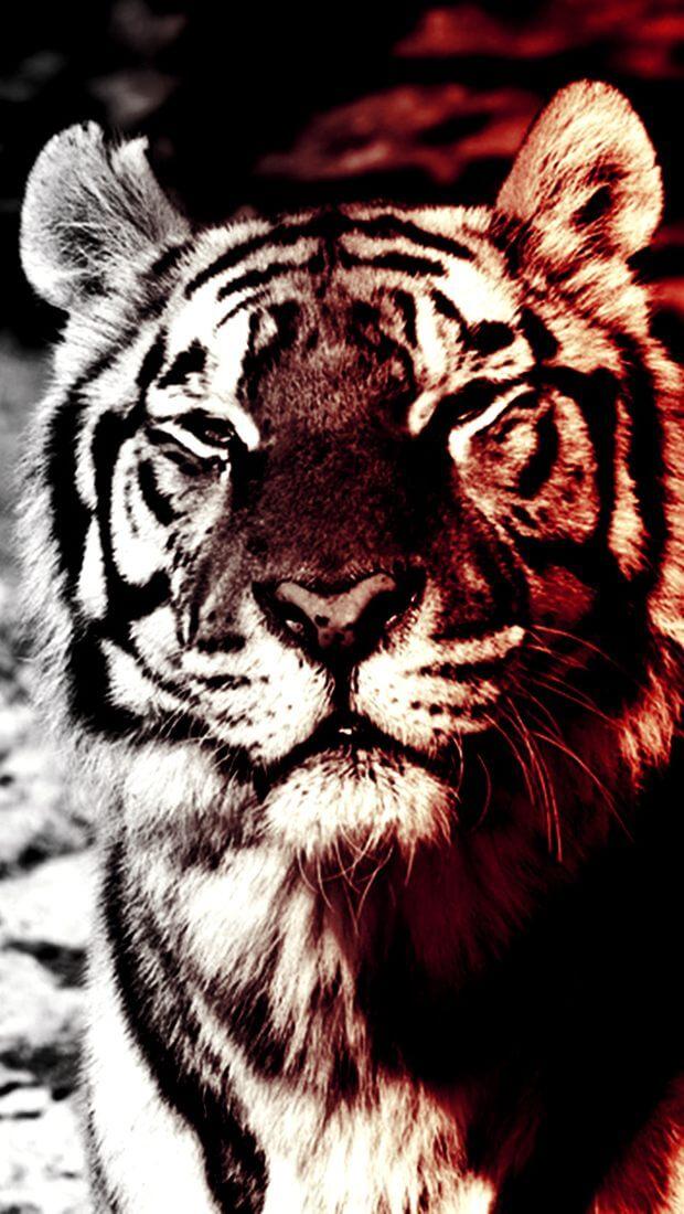 Красивые и крутые картинки тигра на заставку телефона - подборка 8