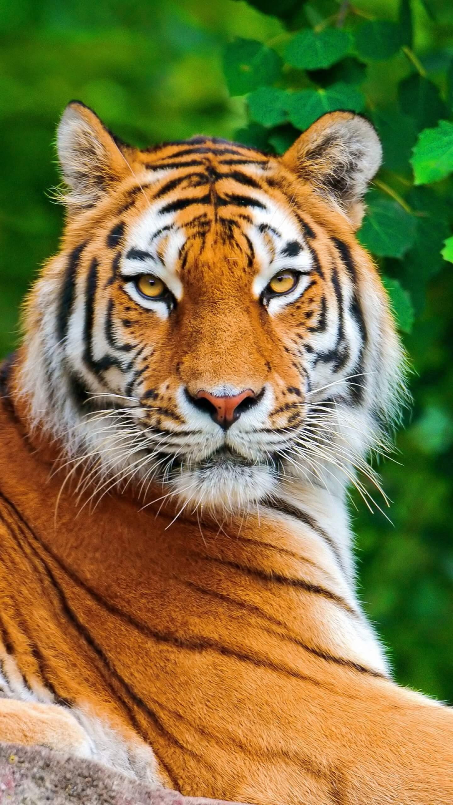 Красивые и крутые картинки тигра на заставку телефона - подборка 1