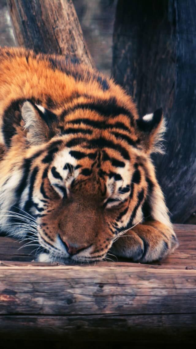Красивые и крутые картинки тигра на заставку телефона - подборка 2
