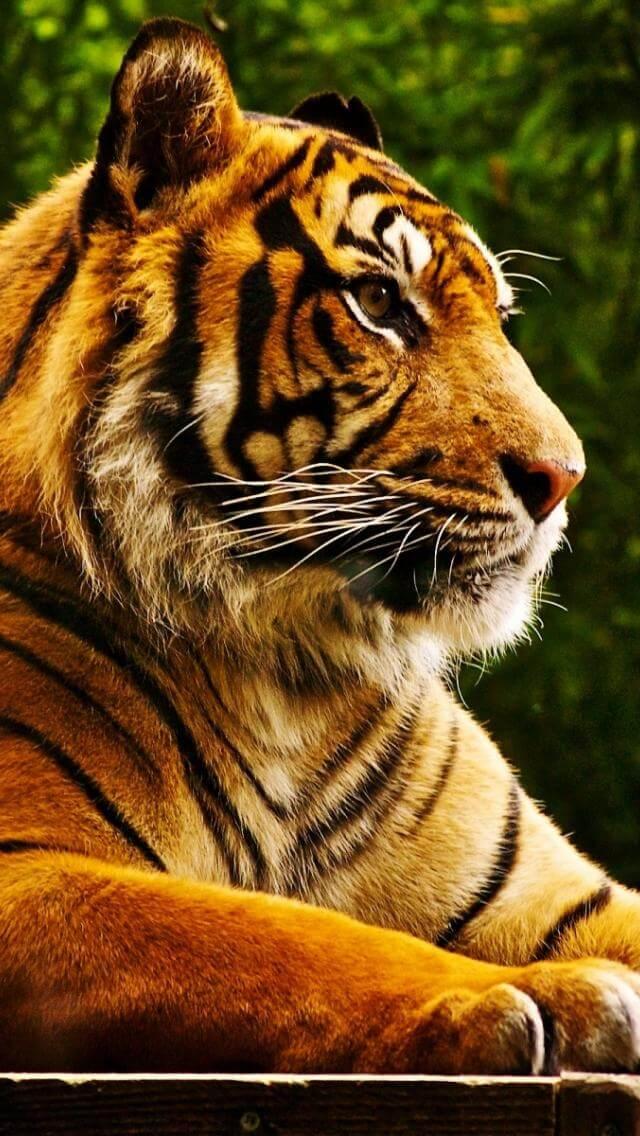 Красивые и крутые картинки тигра на заставку телефона - подборка 3