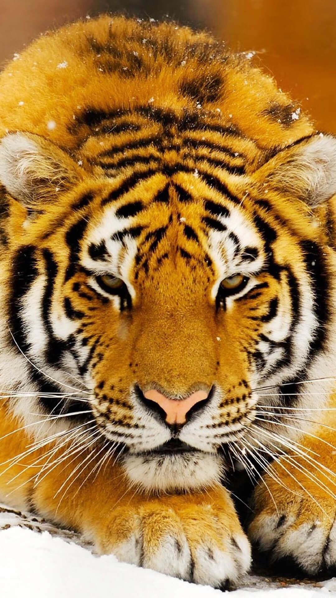Красивые и крутые картинки тигра на заставку телефона - подборка 14