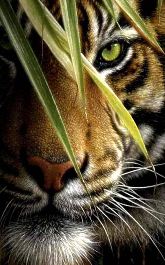 Красивые и крутые картинки тигра на заставку телефона - подборка 17
