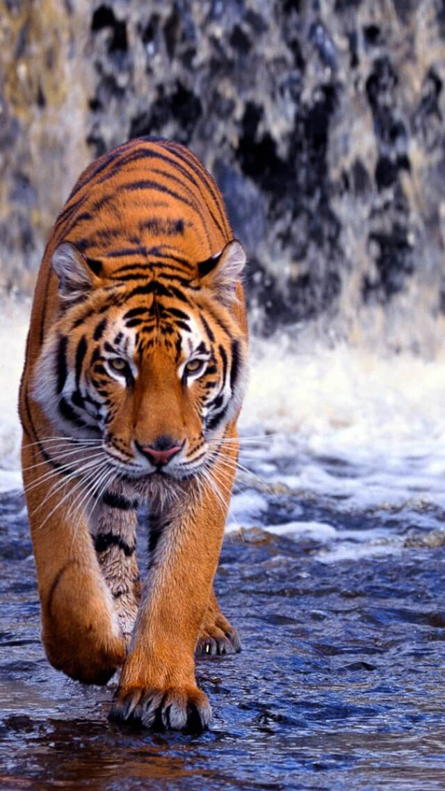 Красивые и крутые картинки тигра на заставку телефона - подборка 11