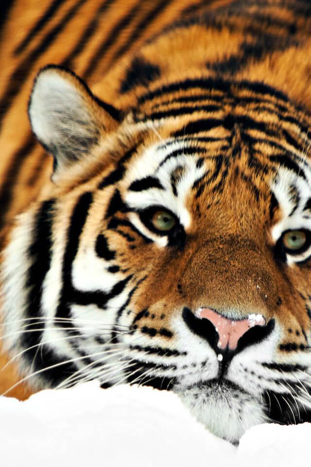 Красивые и крутые картинки тигра на заставку телефона - подборка 13