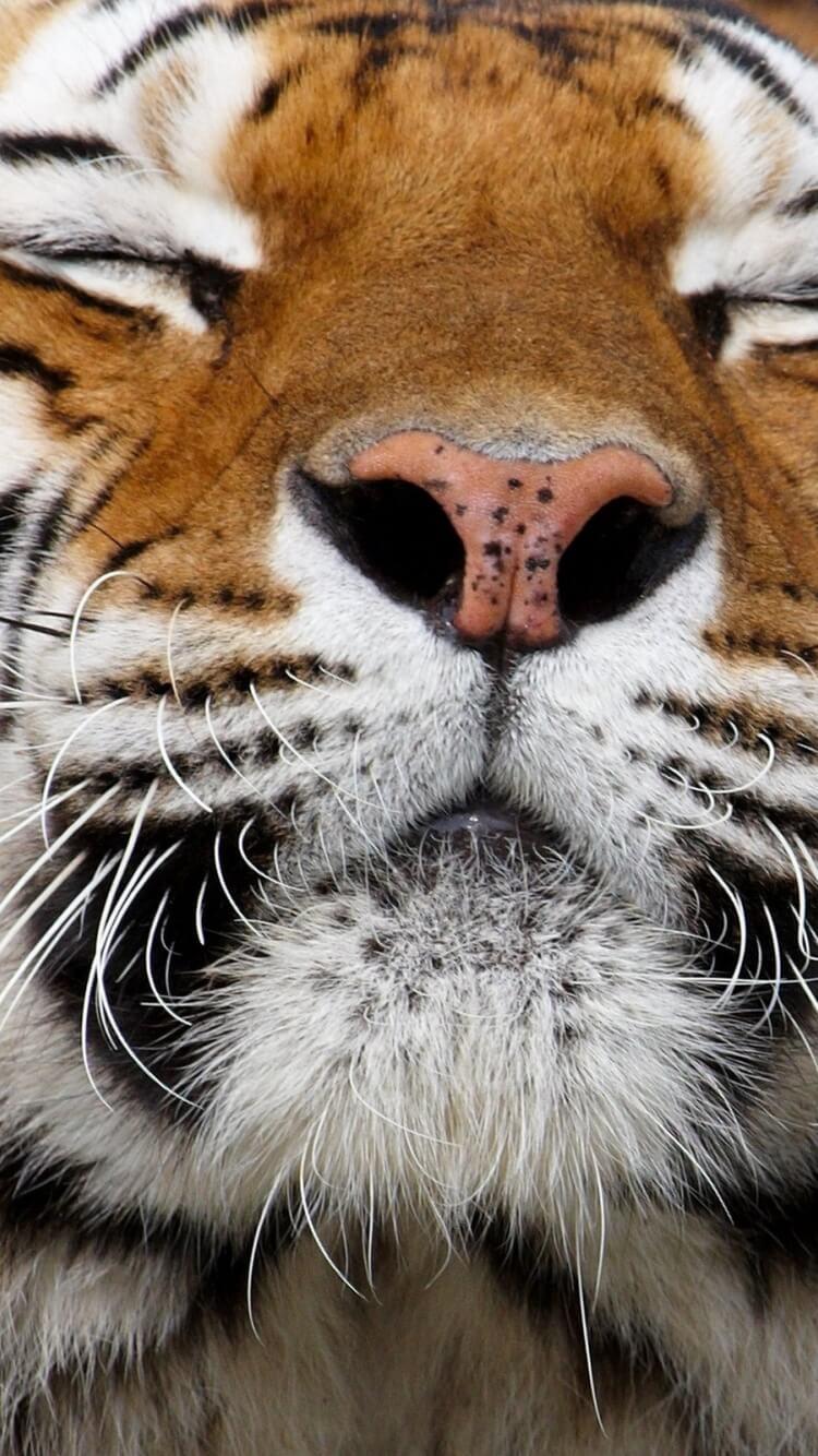 Красивые и крутые картинки тигра на заставку телефона - подборка 15