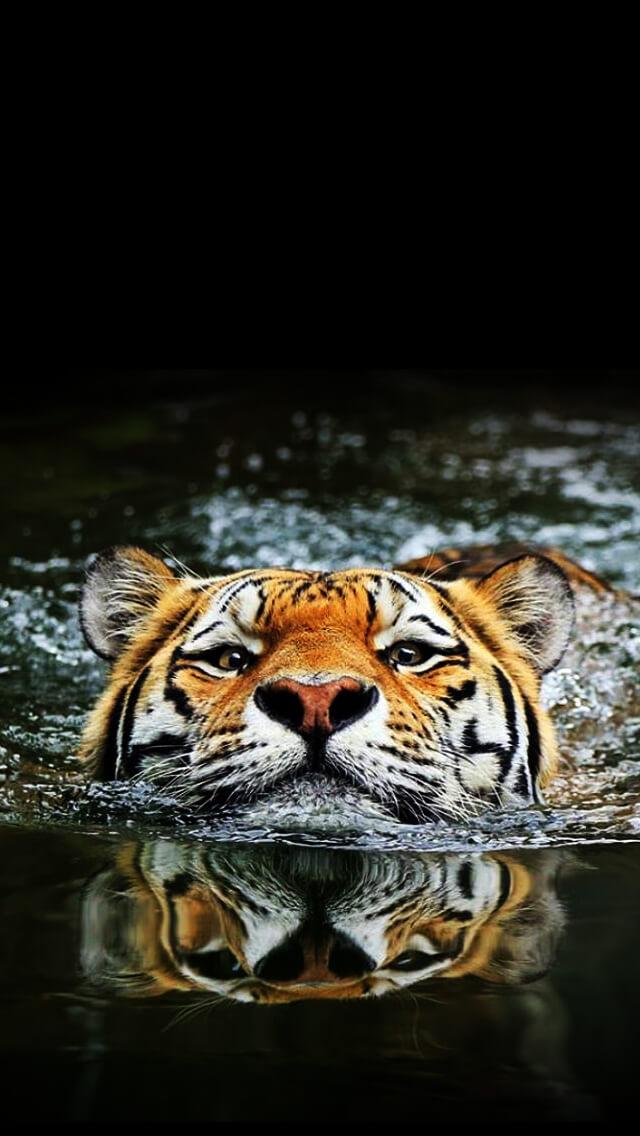 Красивые и крутые картинки тигра на заставку телефона - подборка 16