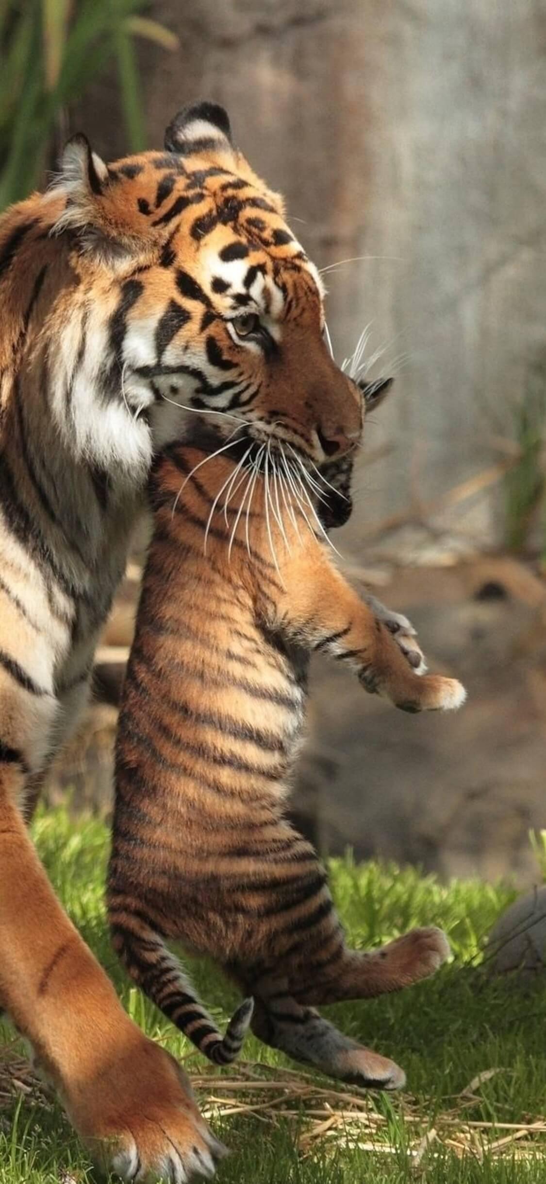 Красивые и крутые картинки тигра на заставку телефона - подборка 18