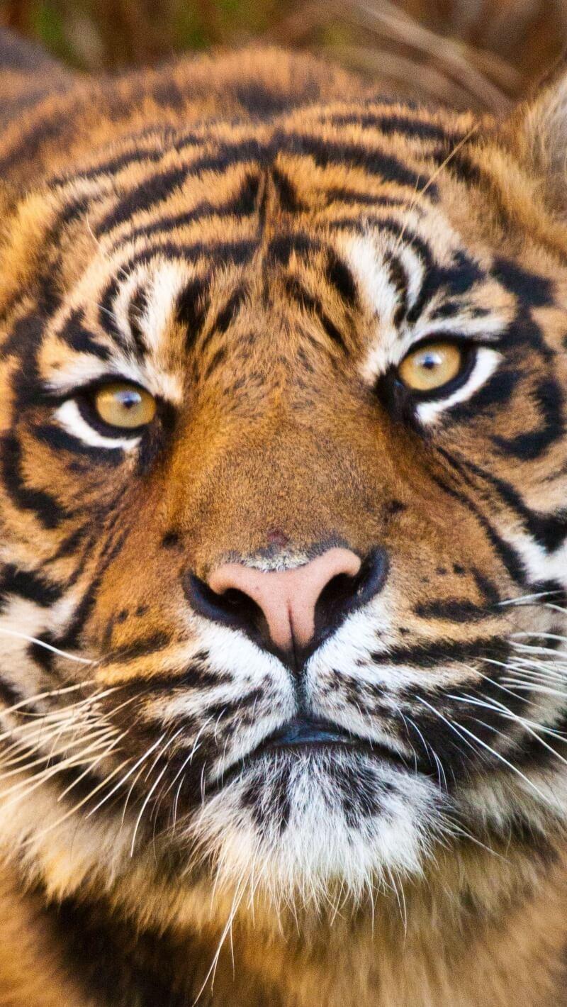 Красивые и крутые картинки тигра на заставку телефона - подборка 21