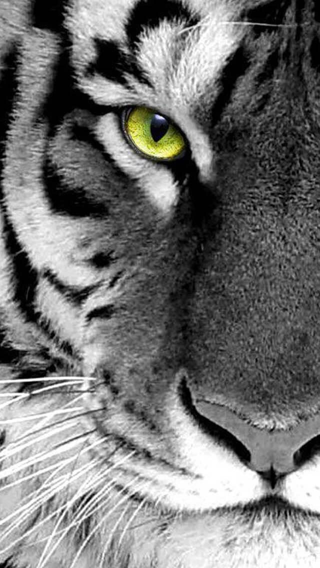 Красивые и крутые картинки тигра на заставку телефона - подборка 22
