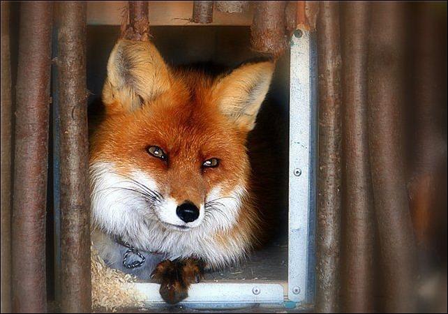 Любви картинки, прикольные картинки с изображением лисы