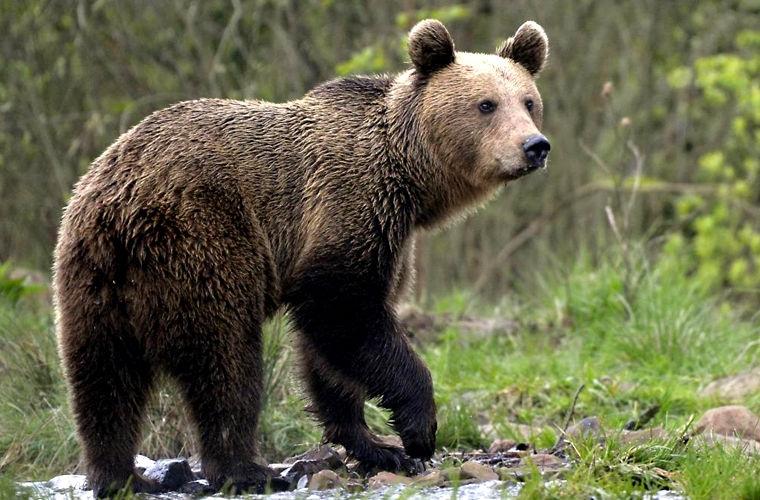 ритм действия, картинки бурый медведь волк колгот это