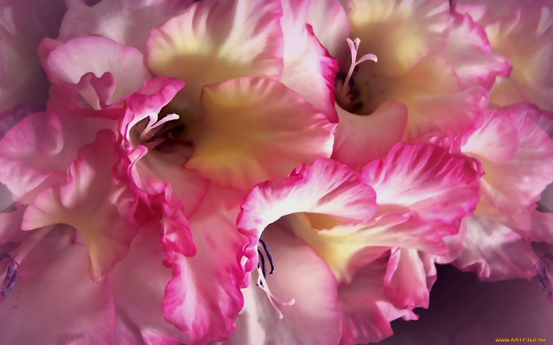 Цветы гладиолусы картинки на рабочий стол, днем