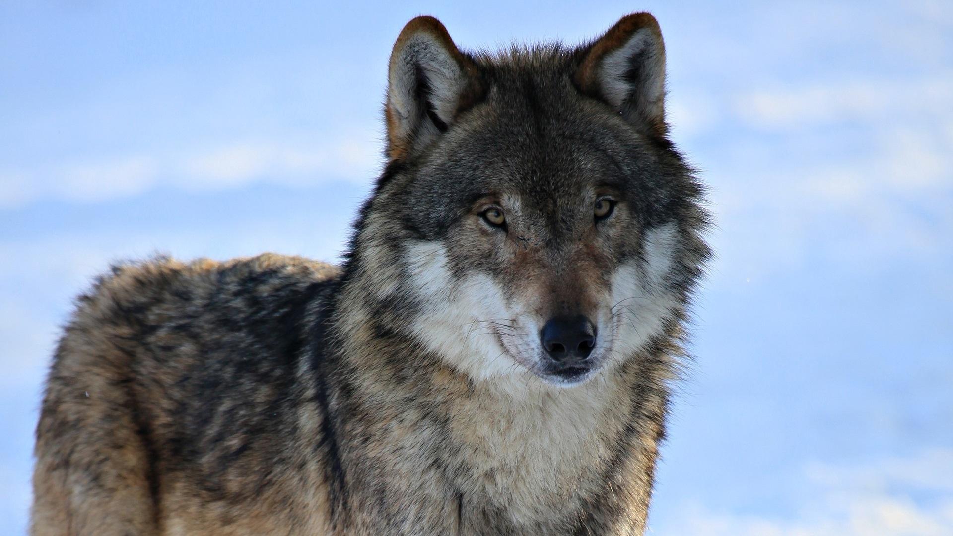 Фото наколок с волками фотообои восход