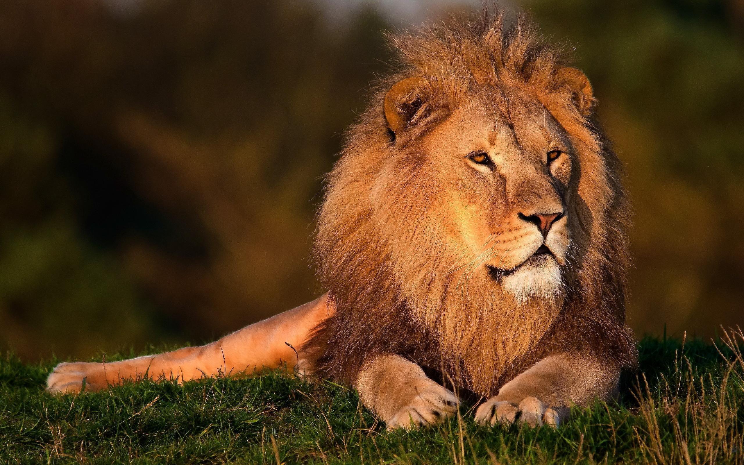 этой картинки лев хорошего качества очаровательный кустарник