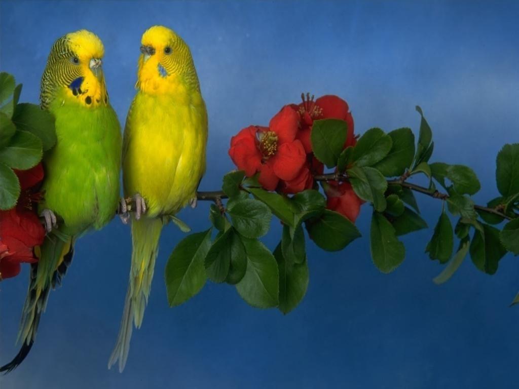 Днем народження, попугай открытка