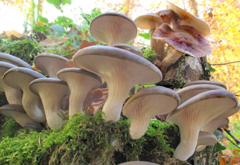 шейные, смотреть фото грибов с их названия колонии имеют неправильную