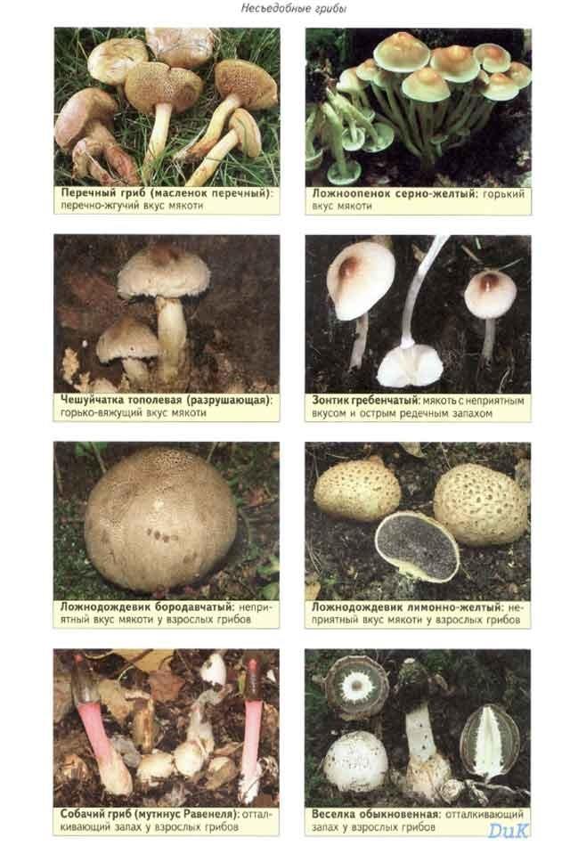 разновидности съедобных грибов с фото и названиями гарантом