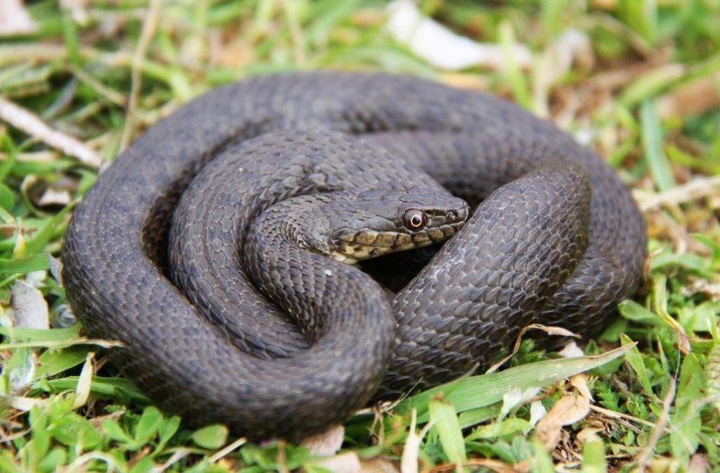 девушек ядовитые змеи подмосковья фото и описание информации