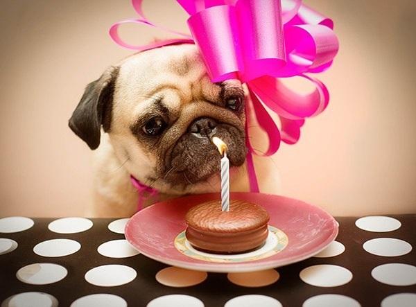 Картинки переписки, открытка с днем рождения мопса