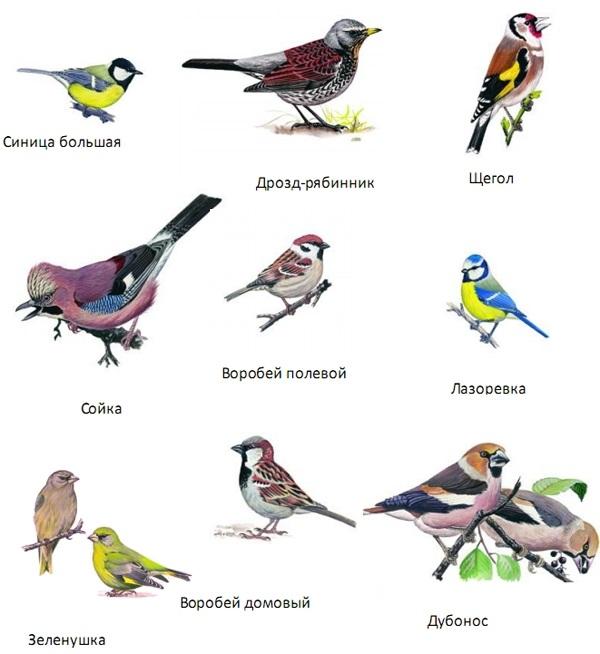 Картинки птиц зимующих у нас птиц