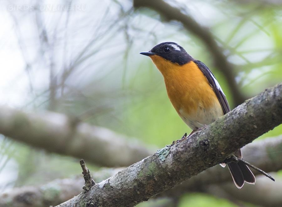 них надежности все птицы приморского края фото и название встречали