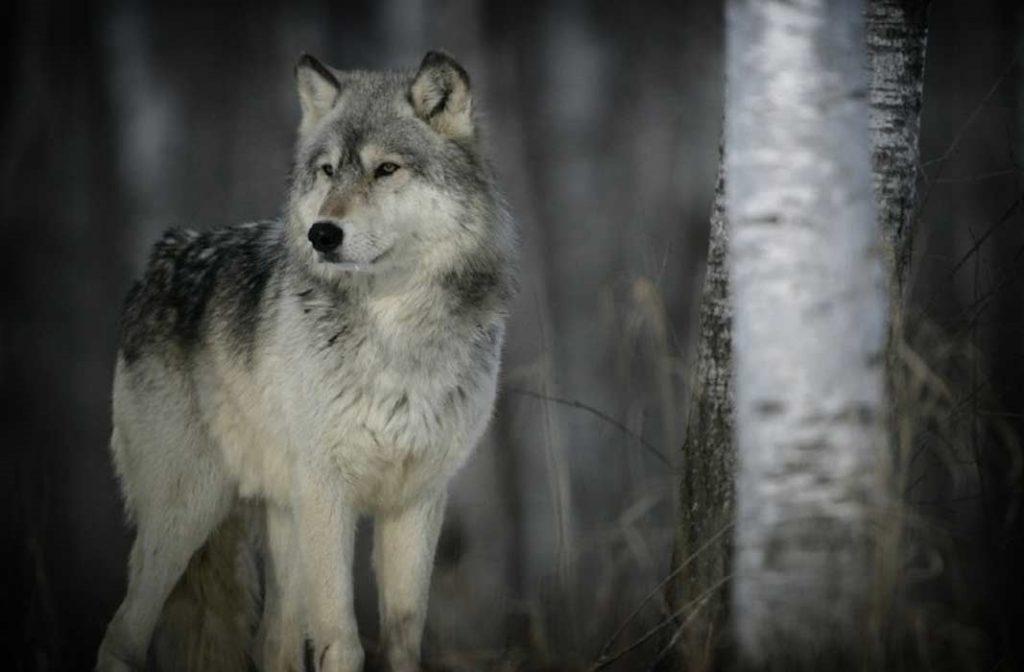 самые красивые фотографии волков что звонок