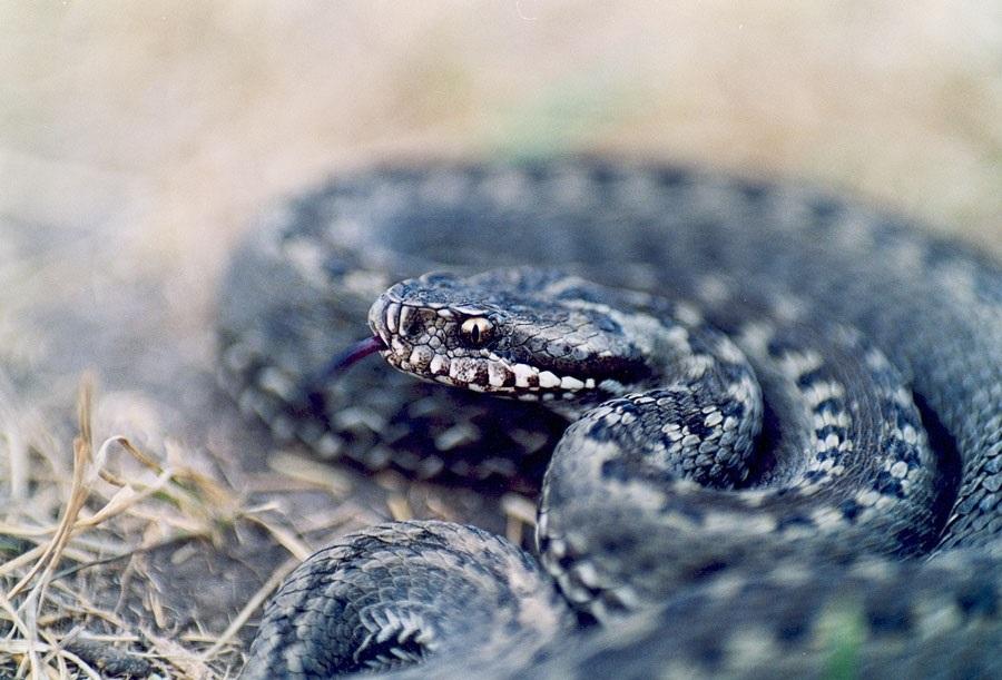 Виды змей в волгоградской области фото